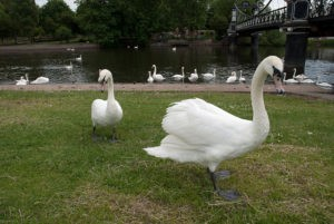 Image of Queen Swans