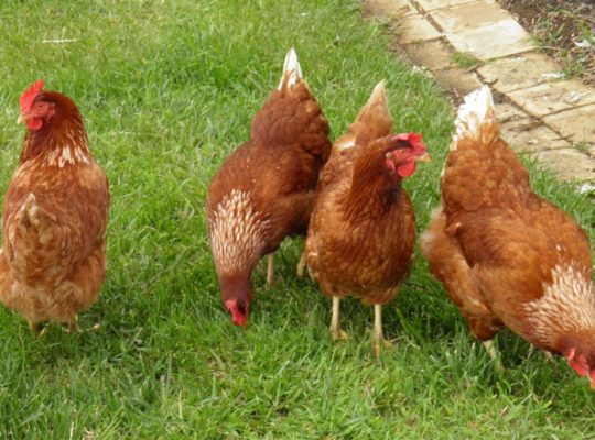 Welfare Code For Laying Hens  In Uk Must Be Possessed By All Owners