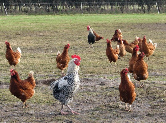 Chemical Spillage In  Struggling Norfolk Poultry Kills Two Subcontractors
