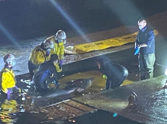 Trapped Whale On River Thames Freed